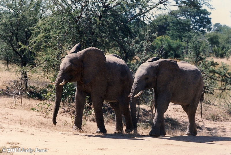 Young elephants in Zimbabwe