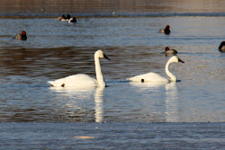 Trumpeter Swan and Tundra Swan