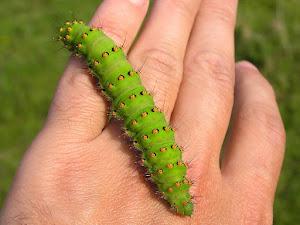 Large Moth Larva.
