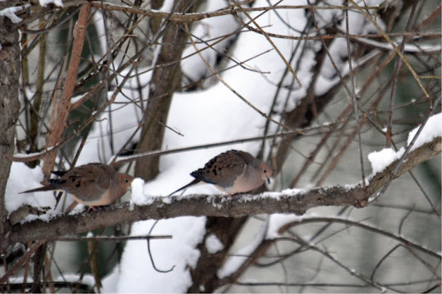 snow-eating birds