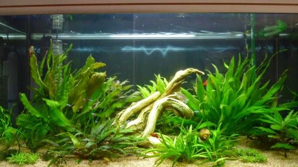 aquarium de Nicolas: eau trouble