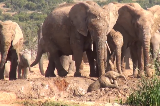 Mama Elephant Rescues Calf From Dangerous Mud Pit (Video)