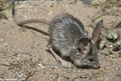 Long eared jerboa (Euchoreutes naso).