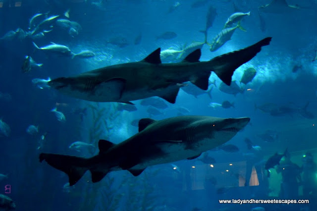 Sharks at Dubai Aquarium