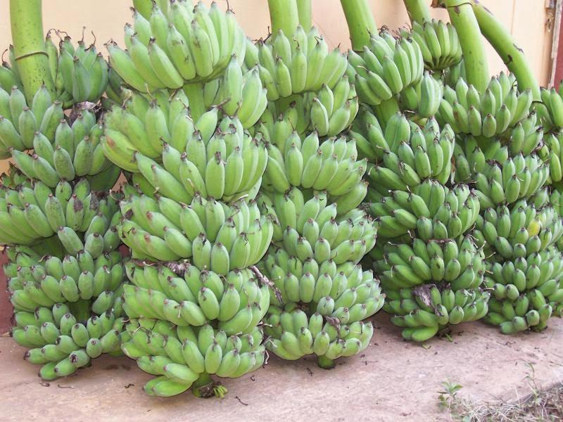 วิธีการปลูกกล้วยน้ำว้า ให้มีกล้วยขายตลอดปี.. - เทรดฟอเร็กซ์ : Inspired by LnwShop.com