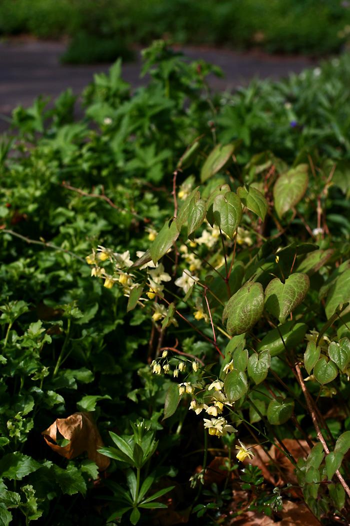 Die zartgelbe elfenblume ist in diesem frühjahr leider