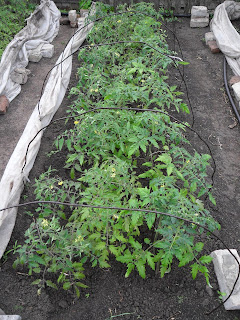 По центру грядки высажены излишки рассады помидоров