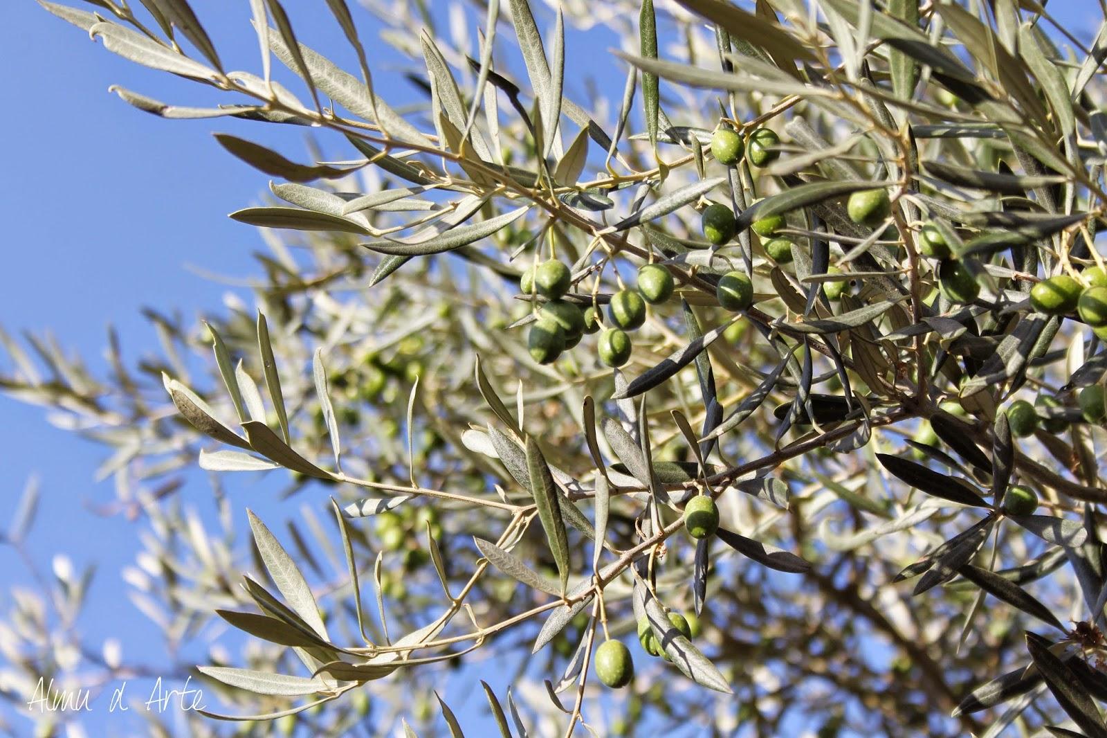 olivo andaluz
