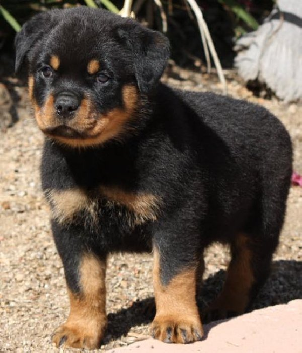 Rottweiler Trained Dogs For Sale