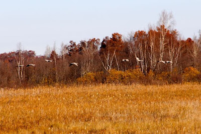 sandhill cranes at Crex Meadows