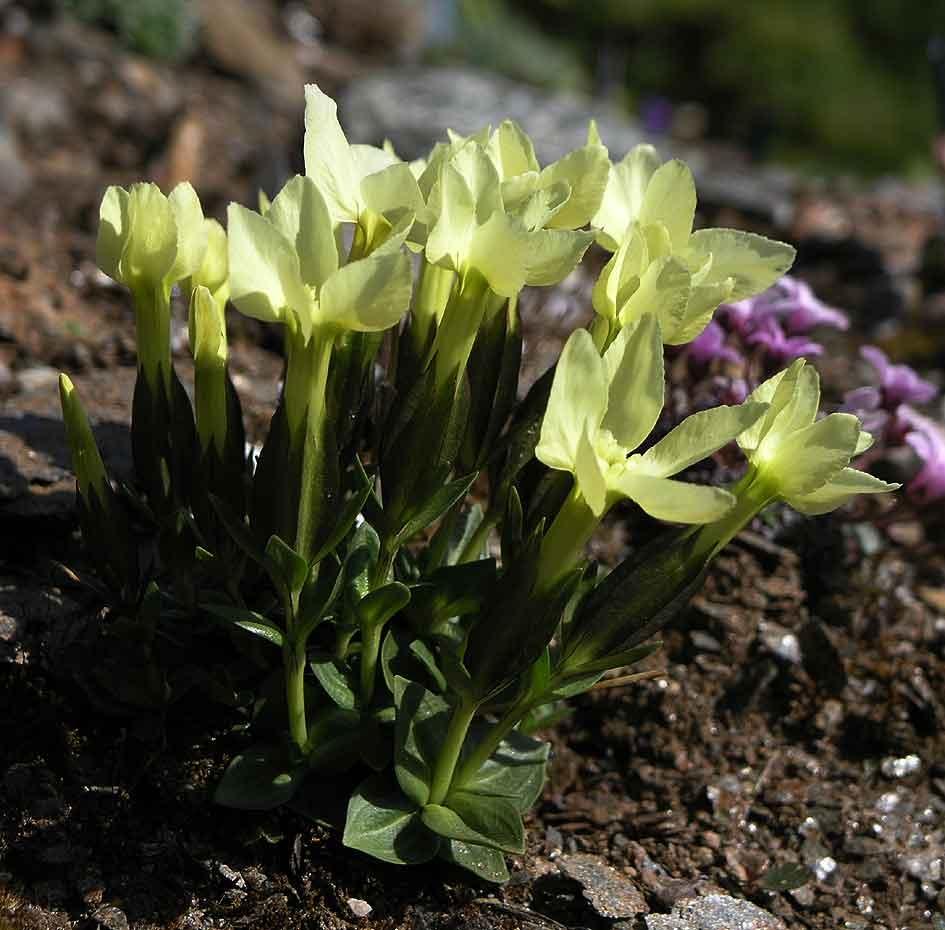 acantholimon venustum pflanzen pinterest wildblumen und pflanzen. Black Bedroom Furniture Sets. Home Design Ideas