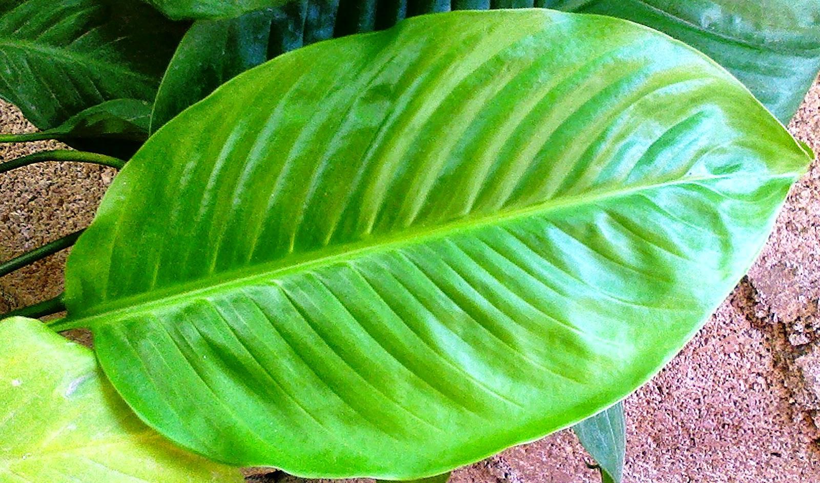 Mercedes s garden fotos de plantas - Planta cuna de moises ...