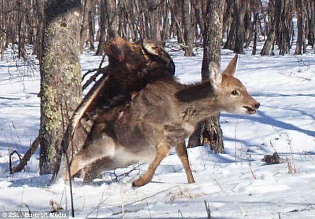 Golden Eagle Vs. Deer Photos Captured by Wildlife Researchers
