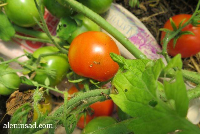 помидоры, томаты, без ухода, в теплице, балконные, красные, зеленые, мульча, мульчирование, аленин сад