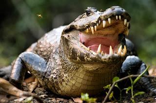 Jacaré animais pantanal
