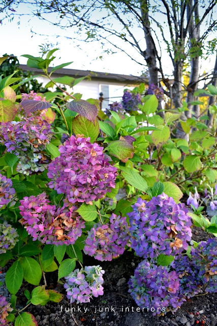 hydrangeas on a bush