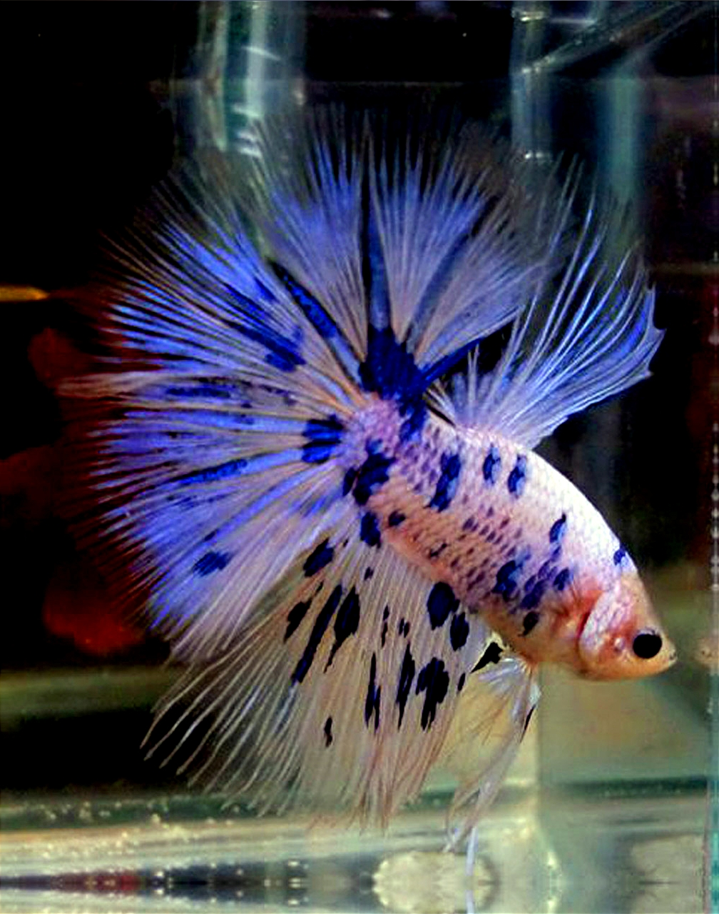 Orange purple betta fish images for Betta fish store