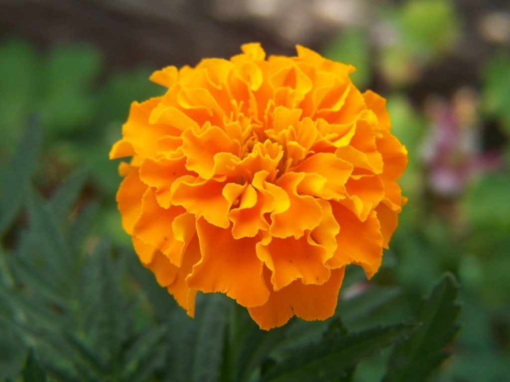 Gardening and Flowers Orange Marigold