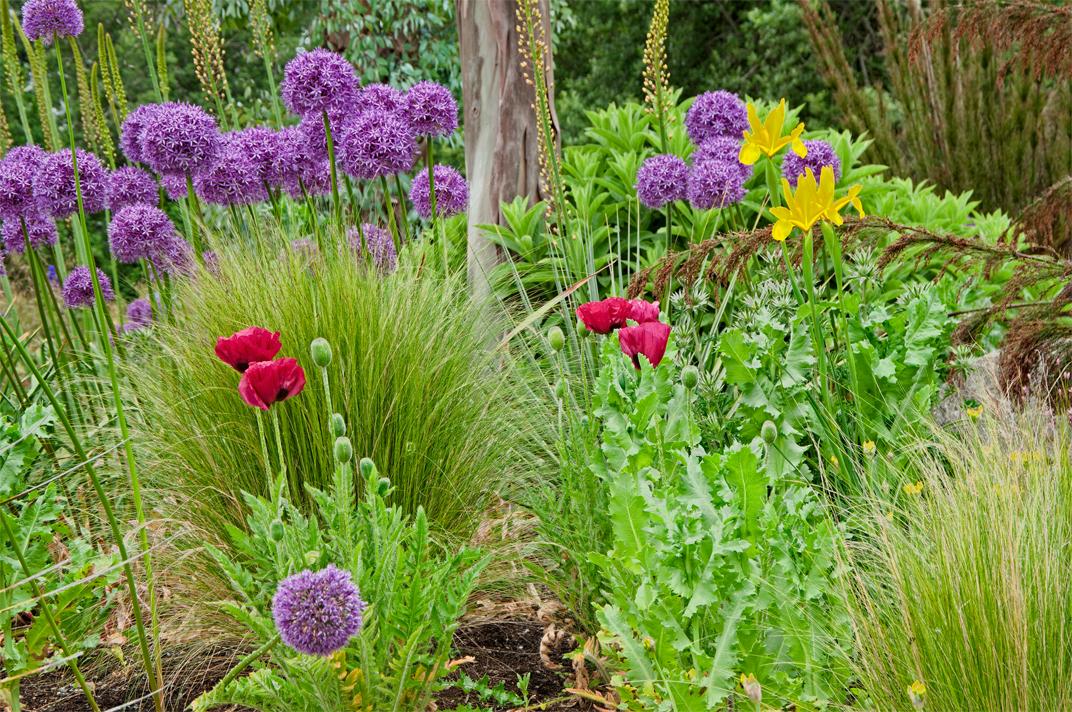 Linda cochran s garden oriental poppies