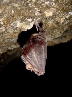 La población censada de murciélagos aumentó un 35% en la Comunitat durante 2014