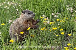marmotte photographe jrobitaille
