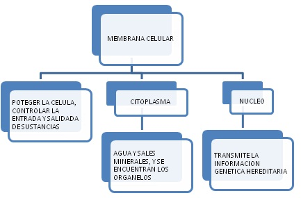 la celula animal. celula animal y sus partes. LA