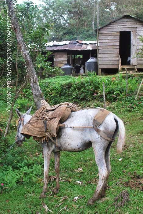La mula, el arriero y un descanso provechoso antes de llegar al Pico Turquino