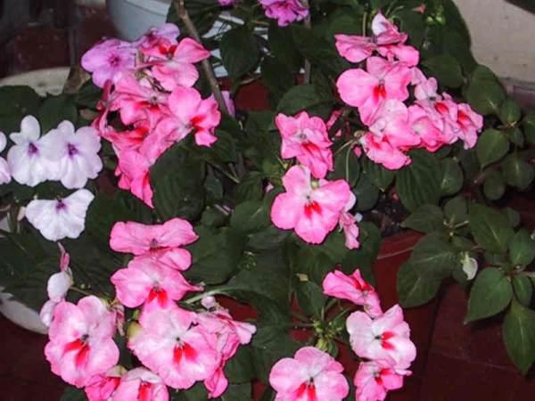 Plantas alegr a de la casa o del hogar reflejos femeninos revista para la mujer - Alegria planta cuidados ...
