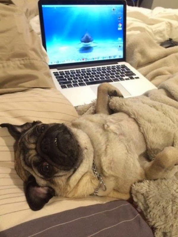 Cute dogs - part 7 (50 pics), pug in bed wears blanket