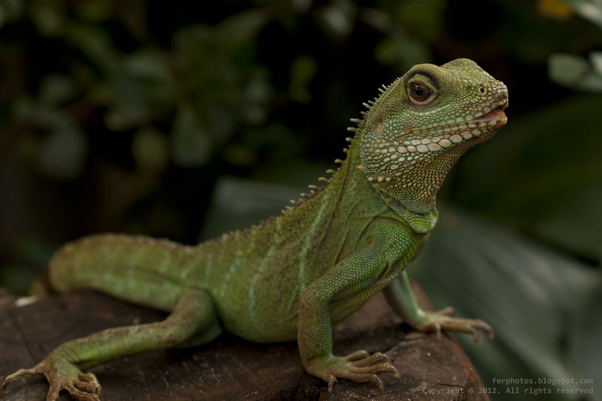chinese Water dragon green lizard reptile zoo artis Amsterdam