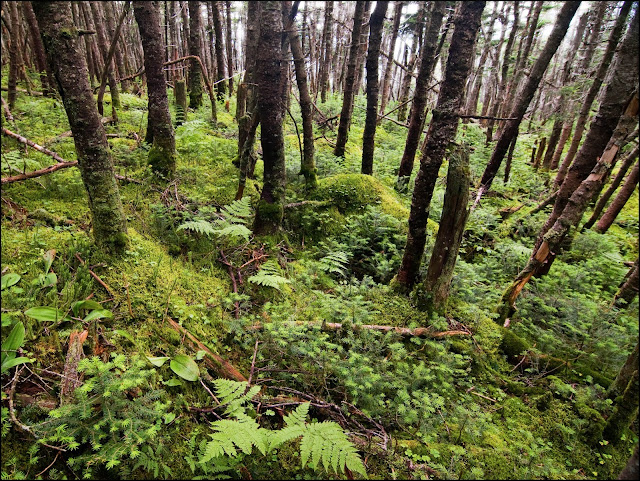 balsam fir forest on Mt. Bond in the White Mountains