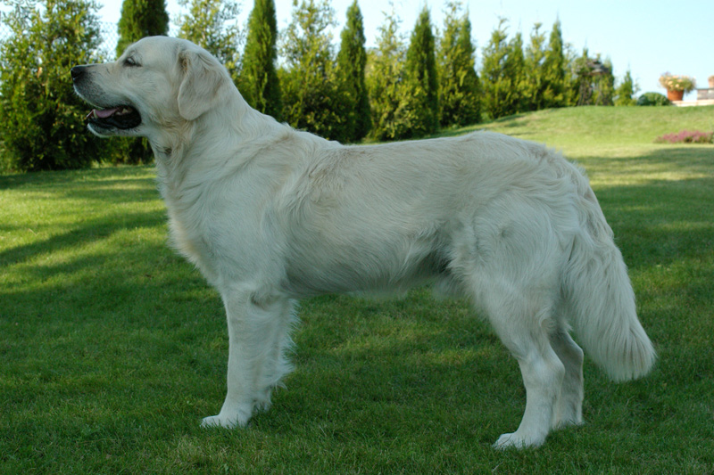 dogs info golden retriever dog