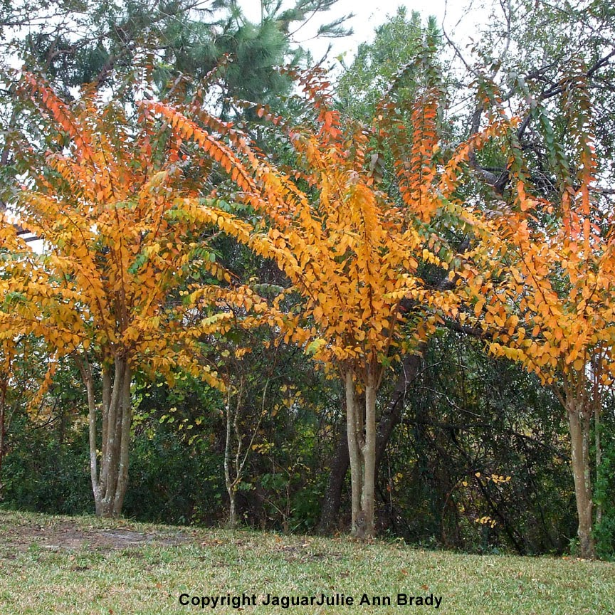 the changing of the leaves on crepe myrtle trees