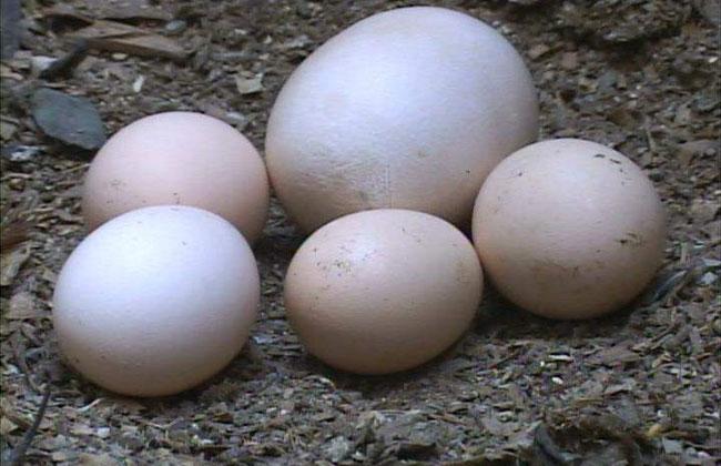 huevo mas grande: