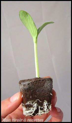 plantule courgette