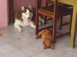 Husky's Pacience