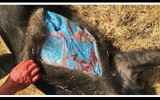 Um casal que caçou um porco selvagem em seu sítio em Morgan Hill, Califórnia, ficou chocado quando preparava a carne da presa para o jantar. Após drenar o sangue do porco, eles encontraram algo muito estranho no seu interior: uma gordura de cor azul e brilhante.