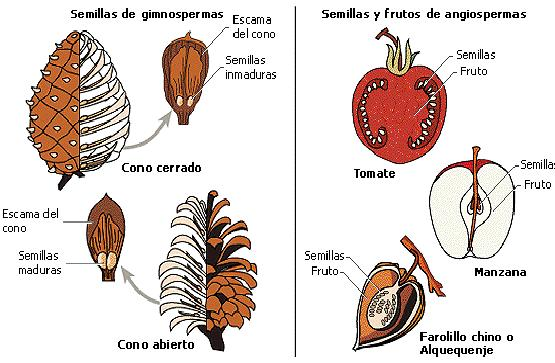 semilla de angiosperma