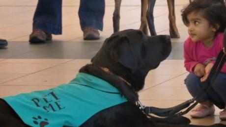 Perros de terapia ofrecen besos y lametazos gratis en el aeropuerto de Edmonton en Canadá
