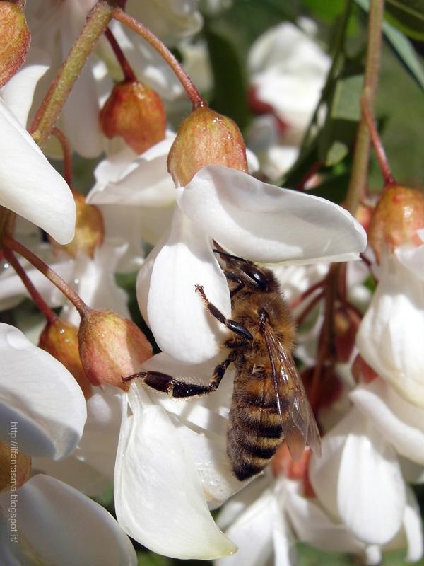 In nome dei fiori grappoli di fiori bianchi di robinia for Nomi di fiori bianchi profumati