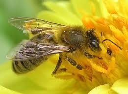 lebah untuk berperang