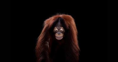 Orangotango parecido com um humano andando.