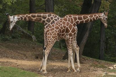 Synchronicity of giraffes