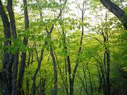 下山途中、ブナの木々の新緑が美しい、そんな鳥ノ胸山でした。