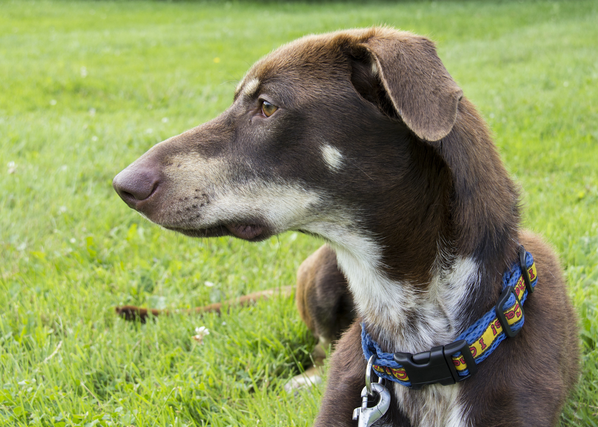 Doberman Greyhound Mix Wonderful dogs available for