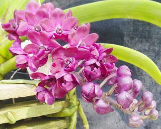 ช้างแดงสวยๆ กลิ่นหอมๆ  จาก Tek palm and Orchids 0815322727