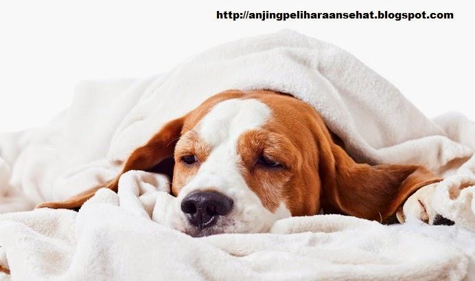 macam penyakit anjing, anjing sakit, jenis penyakit anjing, anjing sakit, pengobatan anjing sakit, anjing peliharaan, anjing lucu
