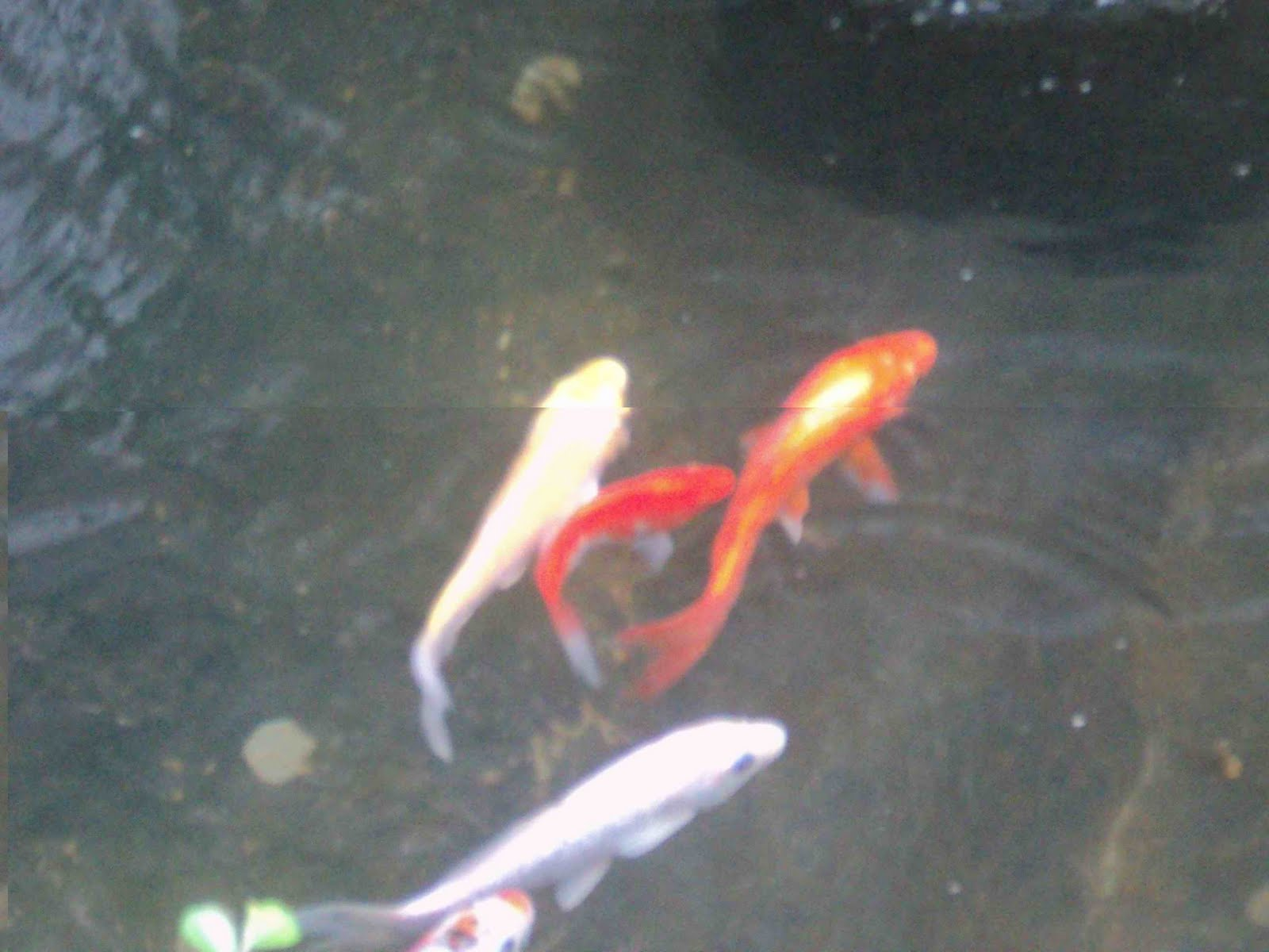 Watery wednesday koi pond to be to be tutubi for Looking after koi