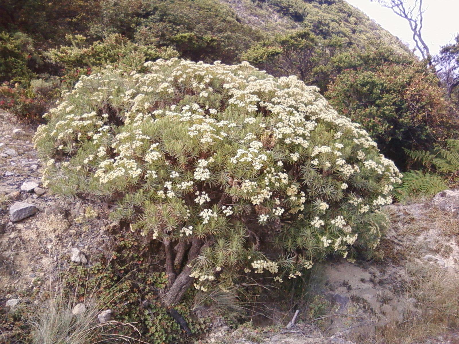 Gambar Bunga Edelweis Terbaru Pickini