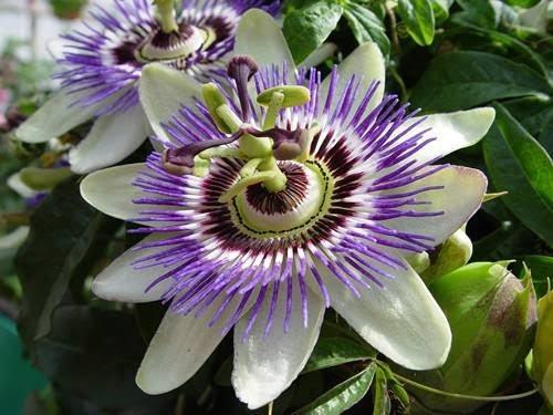 saat çiçeğim